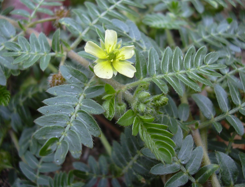 The Latest Popular Natural Herbal Supplement in Europe and the United States – Tribulus Terrestris Extract
